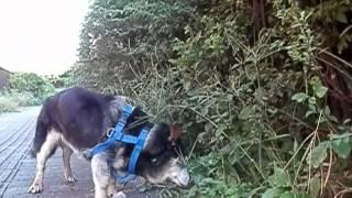 どの犬もそうでしょうが散歩ではしきりに匂いを嗅いで何かを探している...