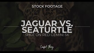 JAGUAR vs. SEATURTLE - STOCK FOOTAGE (RED Gemini)