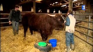 SIA 2015 : Départ du taureau Hercule pour le salon de l'agriculture
