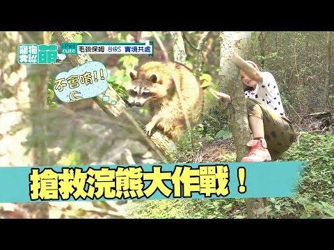 【萌寵】怕生的浣熊咪咪爬到樹上 邵庭寵物保母變野外求生?!