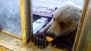 вот такие добрые русские медведи на колыме(Привет влад., 2013-10-25T14:24:58.000Z)