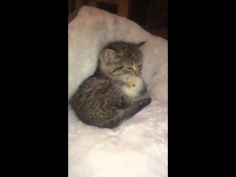 Kitten and Chick Friendship