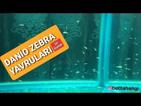 Zebra danio Yavruları 3 Haftalık Oldu #zebrafish