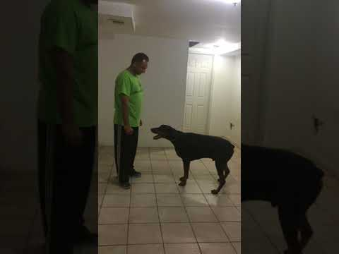 Doberman Pinscher Amazing Tricks 2