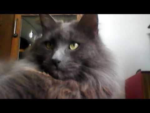 Meet my cat scruffy the fluff 2!
