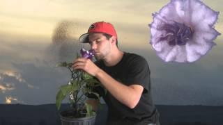 **Purple Angel Trumpet Plant** ++ Brugmansia? or Datura? ++  Toxic Sap++