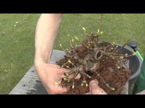geldbaum bonsai schneiden und vermehren doovi. Black Bedroom Furniture Sets. Home Design Ideas