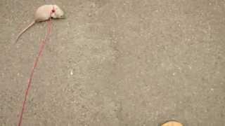 Walking My Rat Outside On A Leash