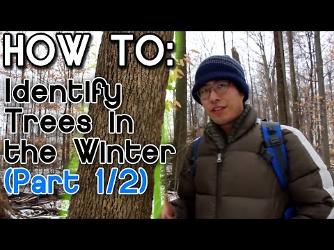 How to Identify Trees in the Winter (Part 1)