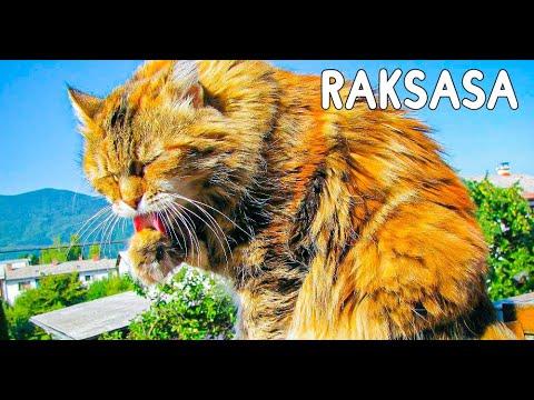 6 Kucing Terbesar Di Dunia Yang Di Juluki Sebagai Kucing Raksasa