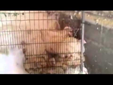 Muertes de pollos por acficcia con espuma Anonymous for Animal Rights