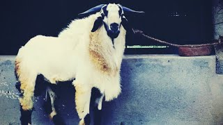 Sheep Farming in TamilNadu and Andhra Pradesh | Bakrid 2020 | Big Bakra Team