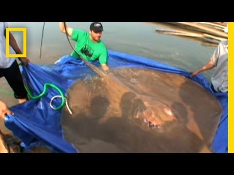 Giant Freshwater Stingray | National Geographic