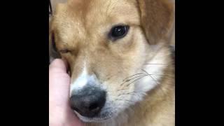 岡山県動物愛護センターに野犬として収容された大地。怖くて固まってい...