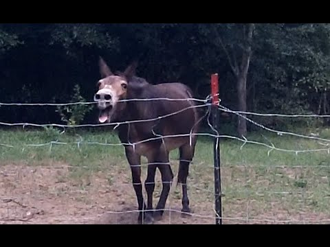 donkey very loud  when upset