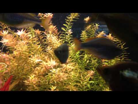 Ротала круглолистная или Ротала индийская, Rotala rotundifolia, Rotala indica