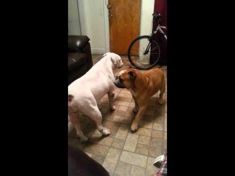 Old english bulldogge vs English bulldog