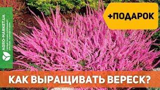 Вереск: посадка и уход. Как вырастить вереск? | Agro-Market.ua