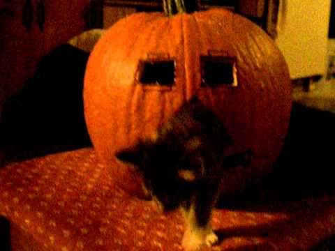 Thumbnail for Cat Video Kitten in pumpkin almost made into a pie