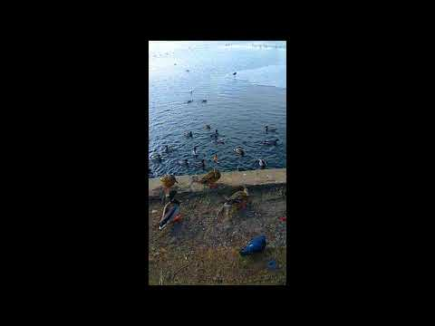 BATTLE DUCK AND GULL FOR FOOD БИТВА УТОК И ЧАЕК ЗА ХЛЕБ