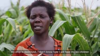 Devastating Invasion Threatens Malawi Harvest
