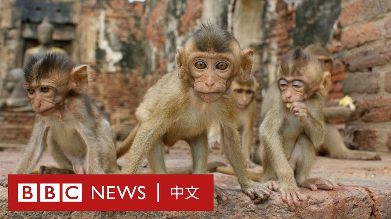 肺炎疫情:沒有遊客餵食的泰國猴子瘋狂繁殖- BBC News 中文