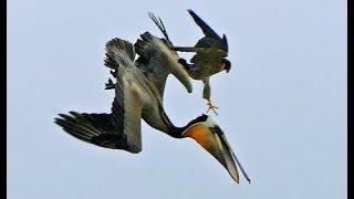 Cắt Lớn Loài Chim Nhanh Nhất Hành Tinh & Tuyệt Chiêu Săn Mồi Từ Trên Cao