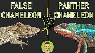 Panther Chameleon vs Bearded Anole (False Chameleon) - Head To Head