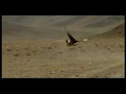 Golden Eagle Killing Fox
