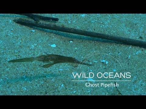 Underwater Ghost: A Rare Encounter With A Ghost Pipefish