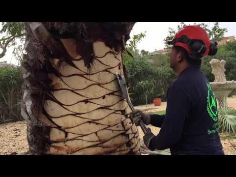 pruning of palm/poda de palmeras