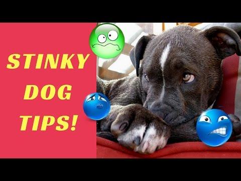 Help! My Dog Stinks! Smelly Dog Tips