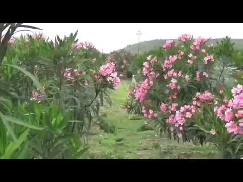 Nerium oleander or Flowers of Pink Colour Kanher