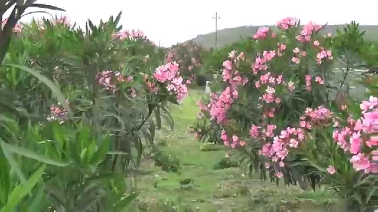Nerium Oleander Or Flowers Of Pink Colour Kanher Youtube