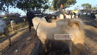 Download Video Bandrol Harga Kambing Terbaru 8 Juli 2018 - Pasar Kambing Wagenan MP3 3GP MP4