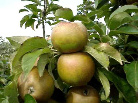 Apple variety Egremont Russet