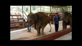 Слоны: умные, дорбые, послушные, приветливые
