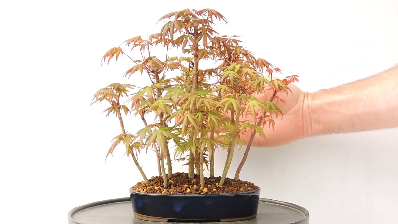 Vídeo 360º Bosque De Acer Palmatum Sp Arce Yamamomiji Yose Uye Ref