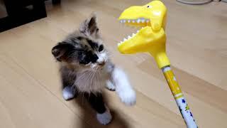 【子猫オモチャ】黄色い顔でパクパクする玩具は苦手なみかん猫