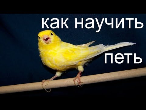 КАК НАУЧИТЬ КЕНАРА ПЕТЬ / линька у канареек / CANARY SINGING