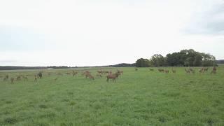Byki jelenia w stadzie - drone fotage