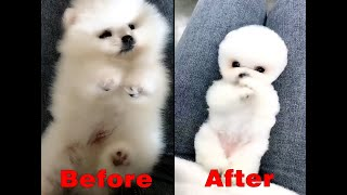 The smallest cute baby puppy in the petshop, before  shearing and after shearing is cute too!