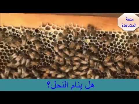 هل النحل ينام ؟ سبحان الله