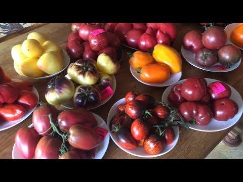 Обзор томатов. Часть 2
