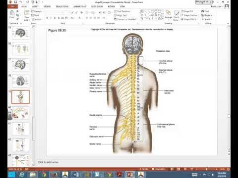 Spinal Nerves, Plexuses, Autonomic Nervous System A&P Feb 6, 2014