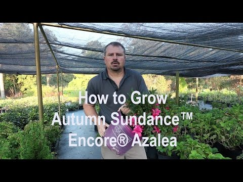 How To Grow Autumn Sundance™ Encore® Azalea With A Detailed Description