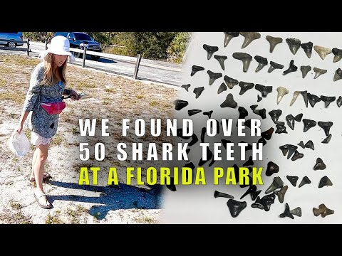 Shark Tooth Hunting In Venice, Florida (Not On The Beach) | Found Over 50 Shark Teeth!
