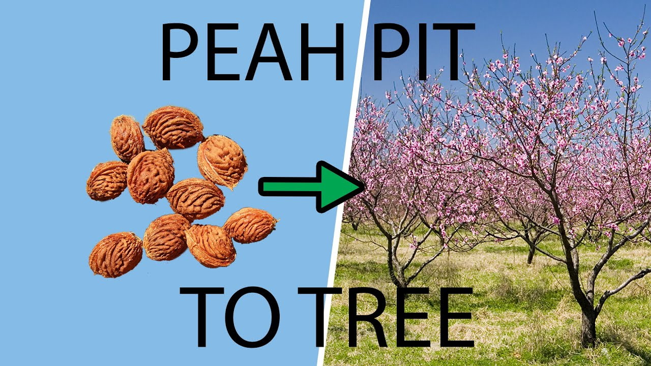 How To Plant Grow A Peach Tree From Pit Seed You