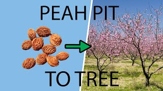 How to Plant & Grow a Peach Tree from a Pit & Seed