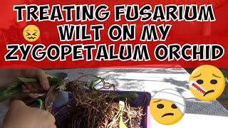 Fusarium Wilt On My Zygopetalum Orchid - How to treat fusarium oxysporum